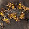 Peru 2012: Rio Madre de Dios - 032 Dioptine moths sharing some fresh dung (Notodontidae: Dioptinae: Dioptini: Phaeochlaena near lampra)