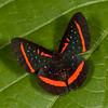 Peru 2012: Rio Madre de Dios - 118 Meneria Metalmark (Riodinidae: Riodininae: Riodinini: Amarynthis meneria)