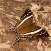 Peru 2012: Rio Madre de Dios - 079 White-banded Daggerwing (Nymphalidae: Cyrestinae: Cyrestini: Marpesia crethon)