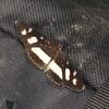 Peru 2012: Rio Madre de Dios - 154 Clio Crescent (Nymphalidae: Nymphalinae: Melitaeini: Eresia clio clio)
