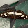 Peru 2012: Rio Madre de Dios - 155 Clio Crescent (Nymphalidae: Nymphalinae: Melitaeini: Eresia clio clio)