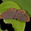 Peru 2012: Rio Madre de Dios - 082 Lucius Metalmark (Riodinidae: Riodininae: Riodinini Metacharis lucius)