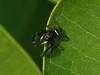 Bird's Hill Park, Manitoba (2010): Jumping Spider (Phidippus claris)