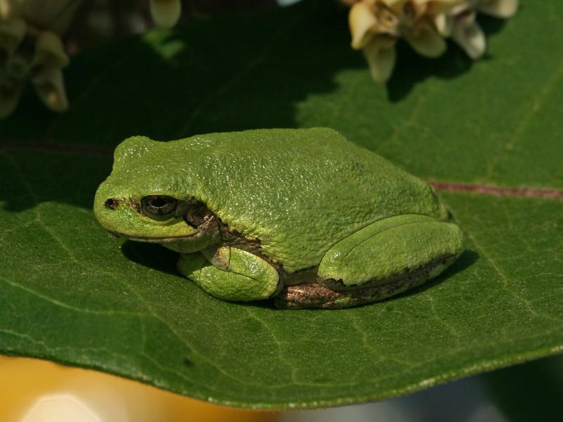 Bird's Hill Park, Manitoba (2010): Gray Treefrog (Hyla versicolor)