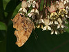 Bird's Hill Park, Manitoba (2010): Comma (Polygonia comma)