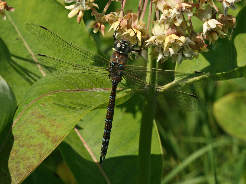 Bird's Hill Park, Manitoba (2010): Unidentified Darner