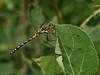 Bird's Hill Park, Manitoba (2010): Black Meadowhawk (Sympetrum danae) female 2010_1331