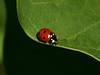 Bird's Hill Park, Manitoba (2010): Seven-spotted Ladybug (Coccinella septempunctata)