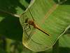 Bird's Hill Park, Manitoba (2010): Saffron-winged Meadowhawk (Sympetrum costiferum)