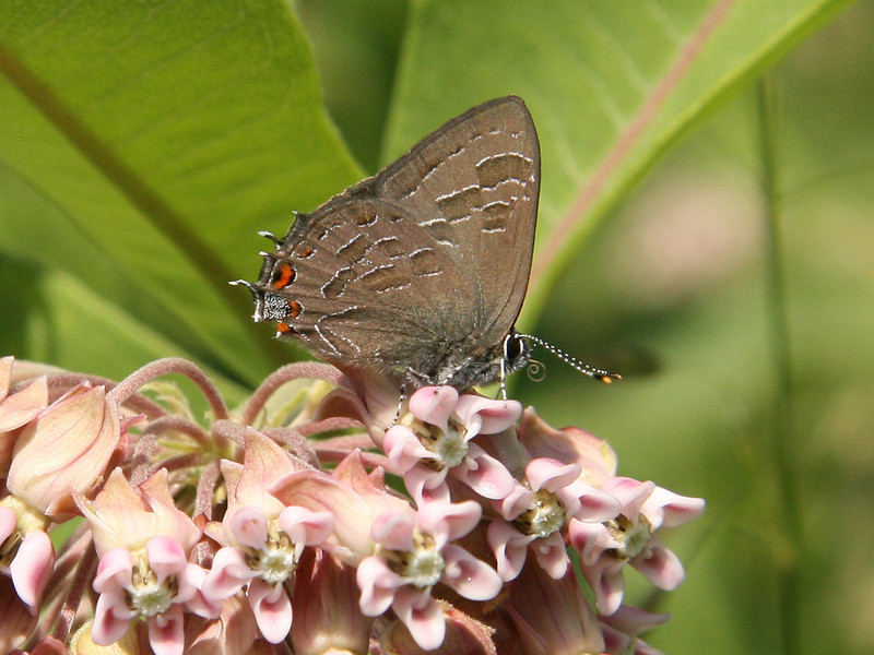 Bird's Hill Park, Manitoba (2007): Striped Hairstreak (Satyrium liparops)