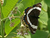 Bird's Hill Park, Manitoba (2010): White Admiral (Limenitis anthems)