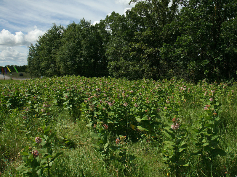 Bird's Hill Park, Manitoba (2010): The milkweed patch protected