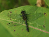 Bird's Hill Park, Manitoba (2010): Red-waisted (Leucorrhinia proximal) female