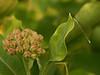 Bird's Hill Park, Manitoba (2006): Sedge Sprite (Nehalennia irene)
