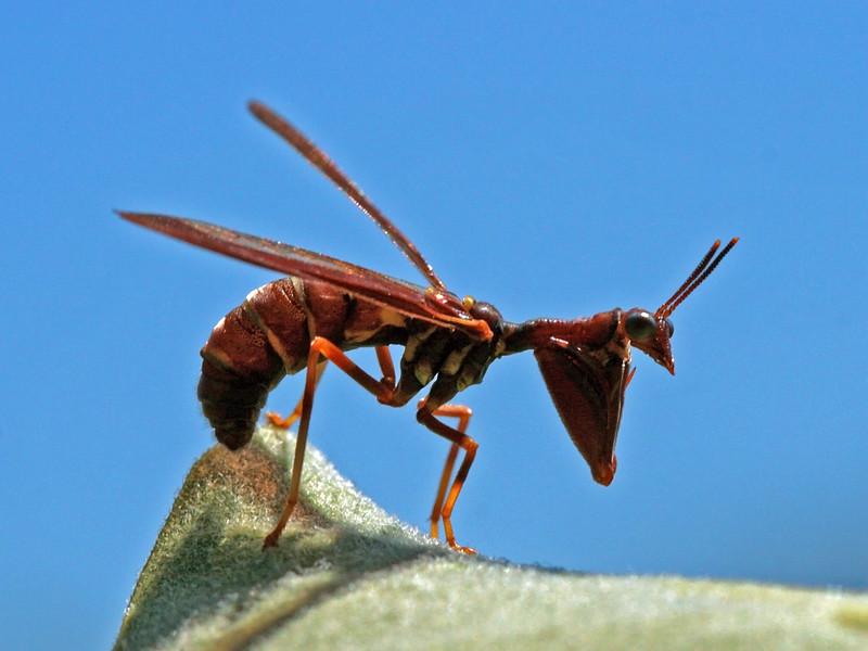 Bird's Hill Park, Manitoba (2011): Mantisfly