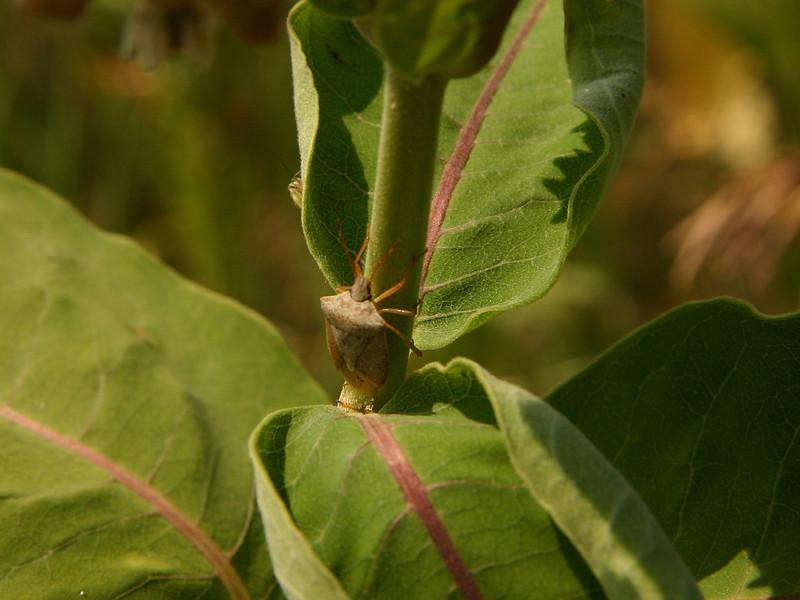 Bird's Hill Park, Manitoba (2006):  Stink Bug (Euschistus sp.)