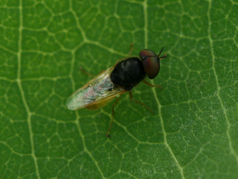 Bird's Hill Park, Manitoba (2010): Soldier Fly (possibly Odontomyia virgo) male