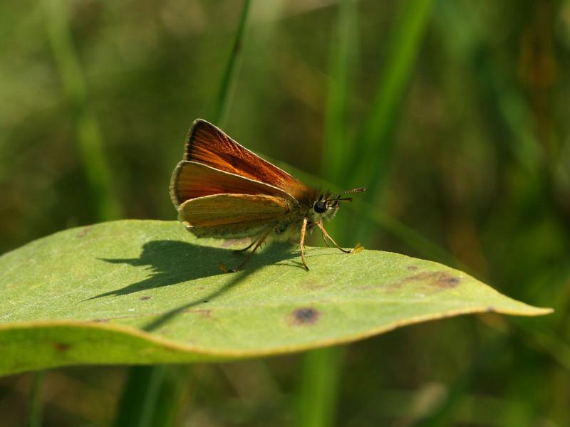 Bird's Hill Park, Manitoba (2010): European Skipper (Thymelicus lineal)