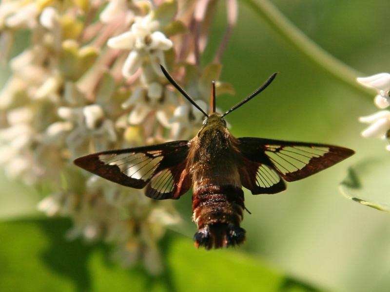 Bird's Hill Park, Manitoba (2007): Hummingbird Clearwing Moth (Hemaris thysbe)