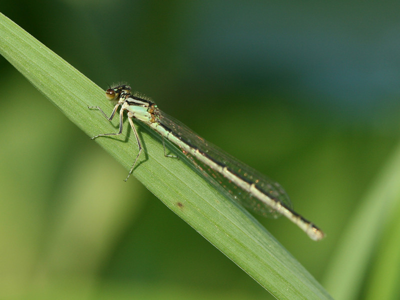 Bird's Hill Park, Manitoba (2010): Unidentified Bluet