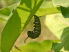 Bird's Hill Park, Manitoba (2006): Monarch caterpillar (Danaus plexippus)