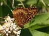 Bird's Hill Park, Manitoba (2007):  Spangled Fritillary (Speyeria cybele)
