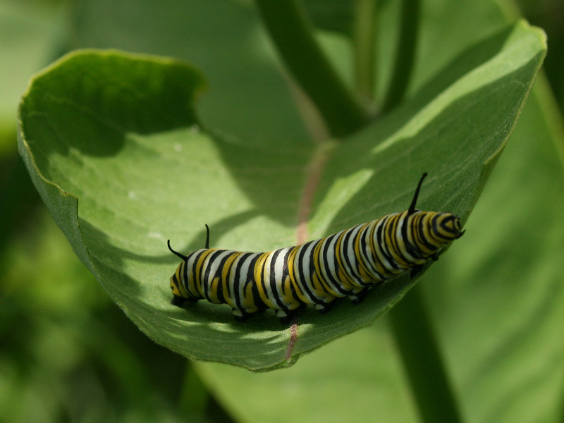 Bird's Hill Park, Manitoba (2010): Monarch Ccterpillar (Danaus plexippus)