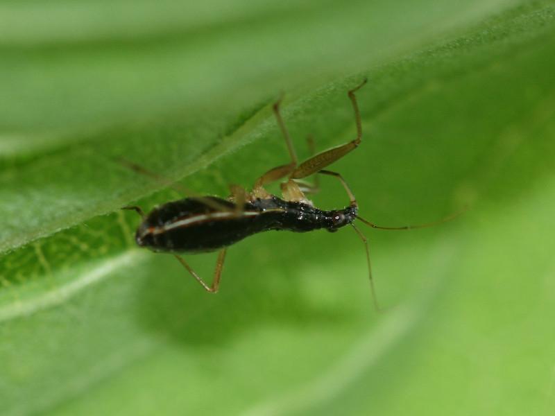Bird's Hill Park, Manitoba (2010): Damsel Bug (Nabicula subcoleoptrata)
