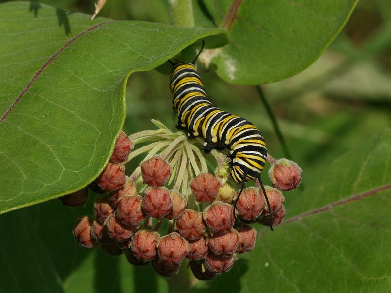 Bird's Hill Park, Manitoba (2010): Monarch caterpillar (Danaus plexippus)