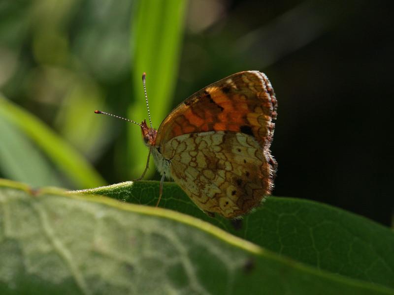 Bird's Hill Park, Manitoba (2010): Northern Pearl Crescent (Phyciodes cocyta)