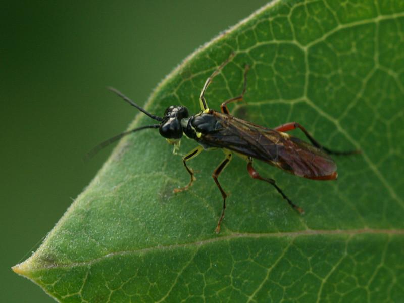 Bird's Hill Park, Manitoba (2010): Unidentified Hymenoptera