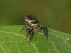Bird's Hill Park, Manitoba (2010): Jumping Spider (possibly Phiddipus purpuratus) female