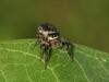 Bird's Hill Park, Manitoba (2010): Jumping Spider (possibly Phiddipus purpuratus) female