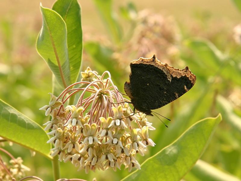 Bird's Hill Park, Manitoba (2006): Mourning Cloak (Nymphalis antiopa)