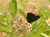 Bird's Hill Park, Manitoba (2006): Mourning Cloak (Nymphalis antiopa)