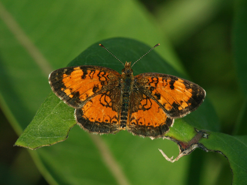 Bird's Hill Park, Manitoba (2010): Northern Pearl Crescent (Phyciodes cocyta)