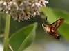Bird's Hill Park, Manitoba (2007): Hummingbird Clearwing Moth (Hemaris thysbe)