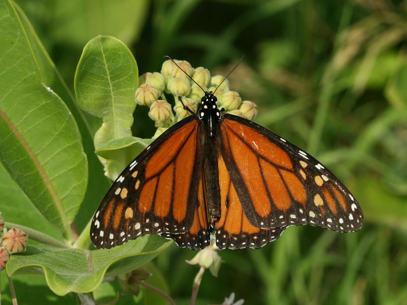 Bird's Hill Park, Manitoba (2010): Monarch (Danaus plexippus)