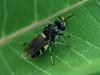 Bird's Hill Park, Manitoba (2010): Soldier Fly (probably Stratiomys sp.) female