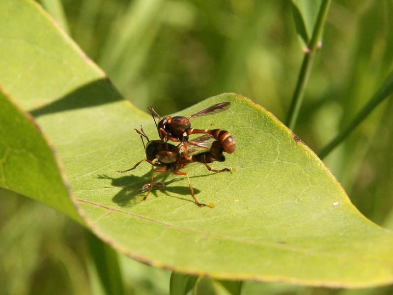 Bird's Hill Park, Manitoba (2007): Thick-Headed Flies (Physocephala sp.)