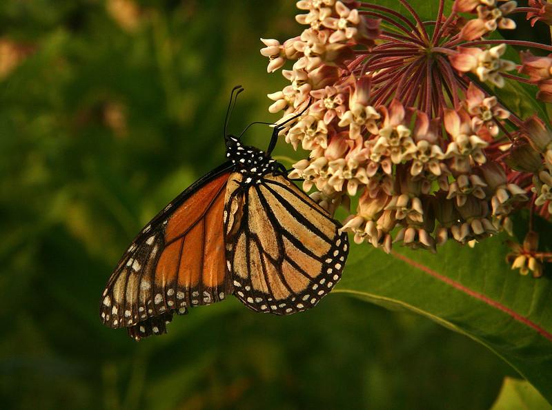Bird's Hill Park, Manitoba (2006): Monarch (Danaus plexippus)