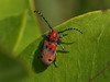 Bird's Hill Park, Manitoba (2010): Red Milkweed Beetle (Tetraopes tetraophthalmus)
