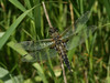 Bird's Hill Park, Manitoba (2010): Four-spotted Skimmer (Libellula quadrimaculata)