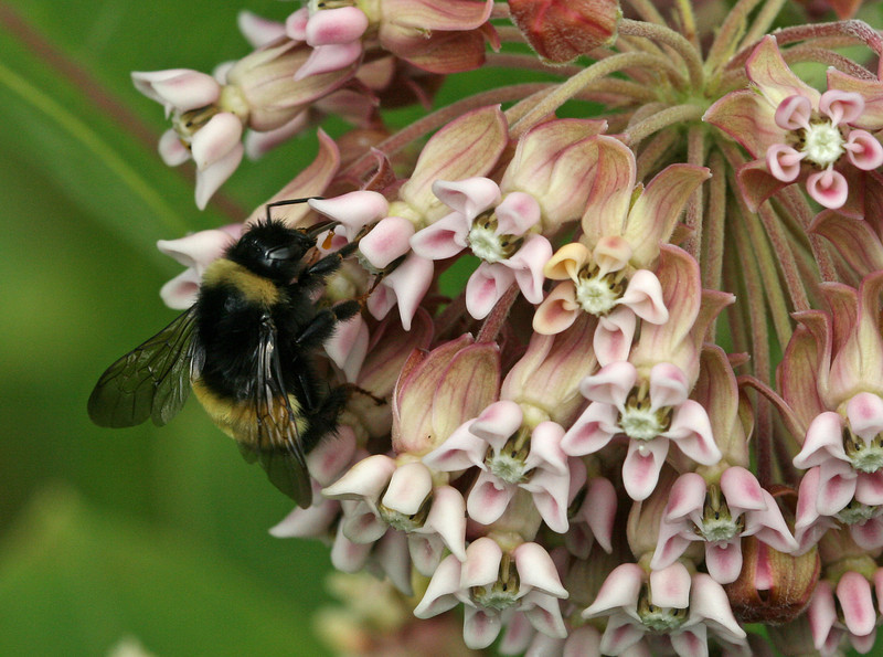 Bird's Hill Park, Manitoba (2010): Bumblebee