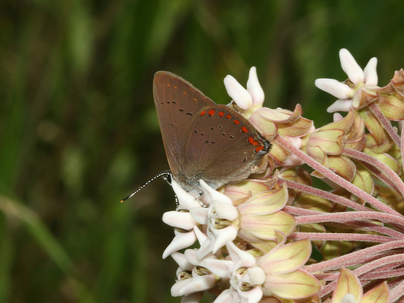 Bird's Hill Park, Manitoba (2010): Coral Hairstreak (Satyrium titus)