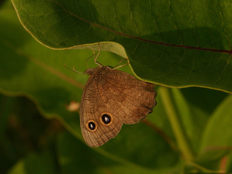 Bird's Hill Park, Manitoba (2006):  Wood Nymph (Cercyonis pegala)