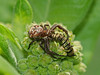 Bird's Hill Park, Manitoba (2010): Crab Spider (Xysticus punctuates), preying on a Monarch caterpillar
