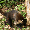 Costa Rica 2010: Arenal - White-nosed Coati (Nasua narica) at the end of the Hanging Bridges walk