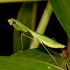 Honduras 2016: Pico Bonito - Mantis (Mantidae: Stagmomantis sp. perhaps?)