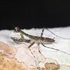Ecuador 2012: Sacha Lodge - Bark Mantis (Liturgusidae: Liturgusinae: Stagmomantini: Liturgusa sp.)